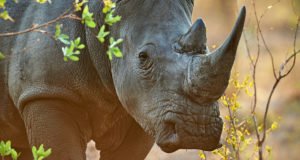 Surveillance technology to protect endangered rhinos