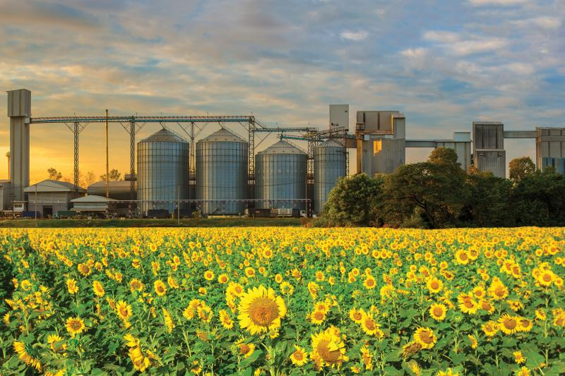 sunflowers field, silos in the background